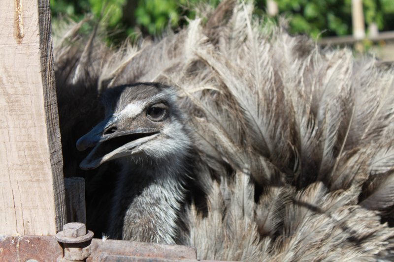 emu wannabe