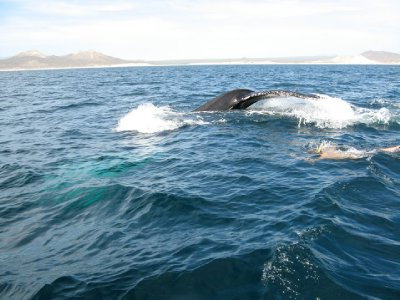 Snorkeling/Freediving with whales