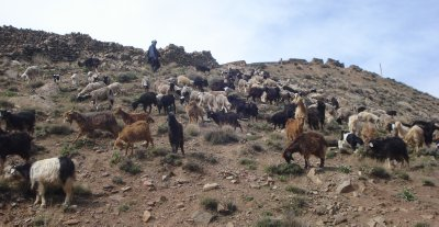 Goat Herder in the Atlas Mountains