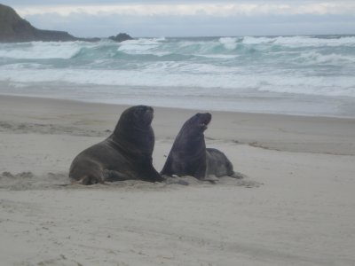 Sea Lions on the beach - Otago Peninsula