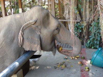 Happy Elephant enjoying a snack