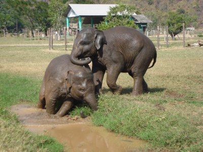 The babies of the herd playing in the mud