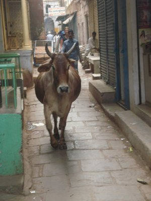 Cow in the Old Quarter
