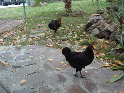 Rooster and Hen, Nevis, West Indies