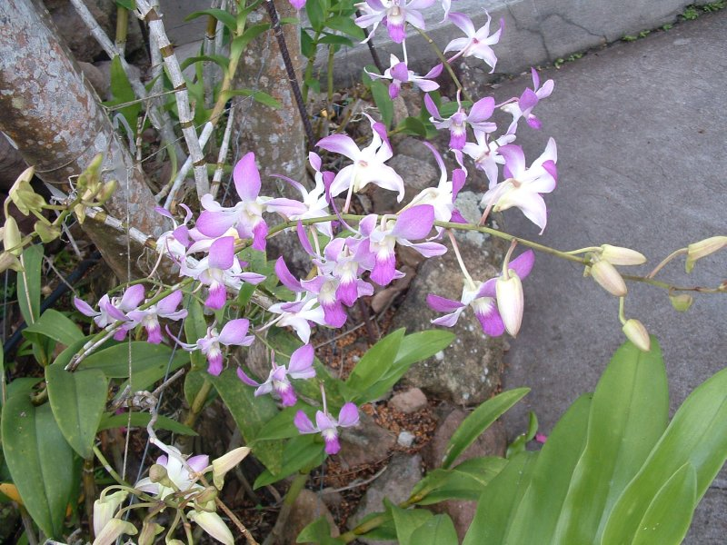 Botanical Gardens, Nevis, West Indies, May 2011 (34)