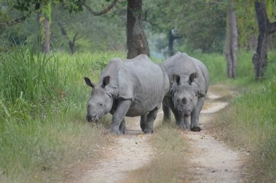 Mating Pair of Indian Rhinos