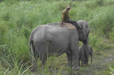 A Park Mahout, his elephant and her baby