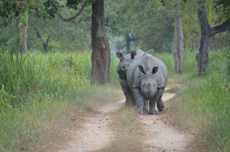 Mating Pairs of Indian Rhinos