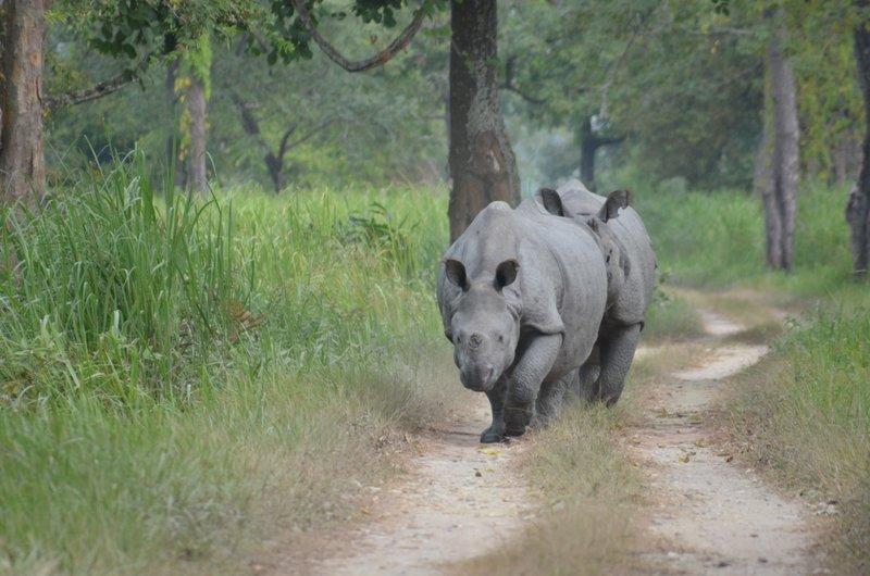 Mating Pair of Indian Rhinos