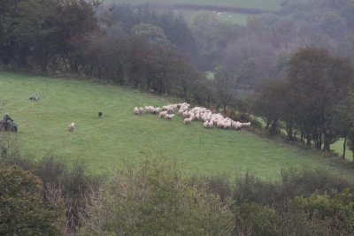 Sheep Relocation