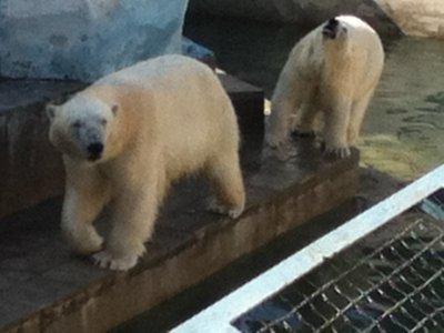 Pschyco Polar bears
