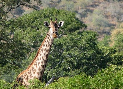 Giraffe is spying over the trees