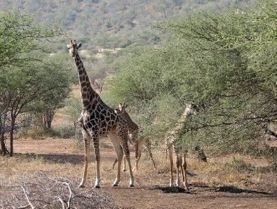 Giraffe family