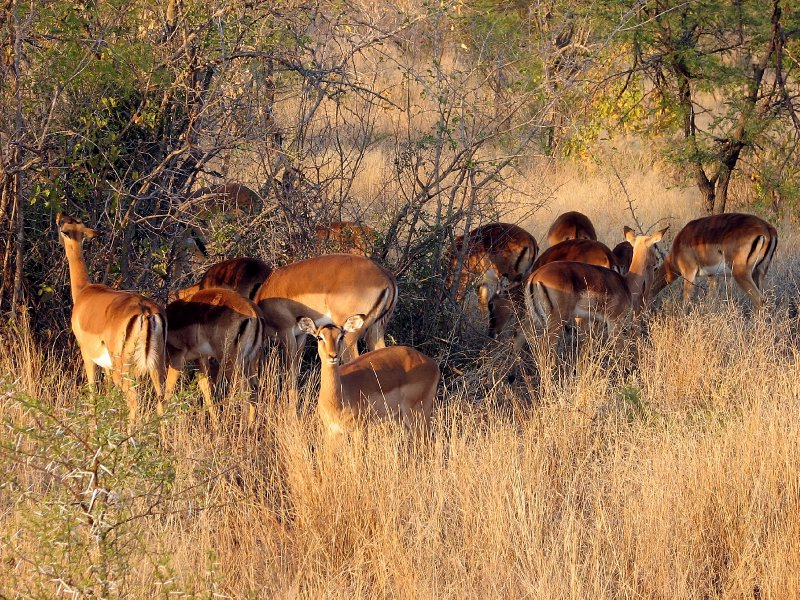 Antilopes in the morning sun