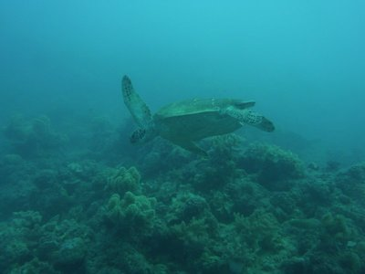 Turtle (which we swam with for a while)