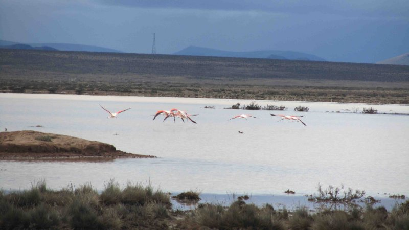 large_Flamingoes_in_flight.jpg