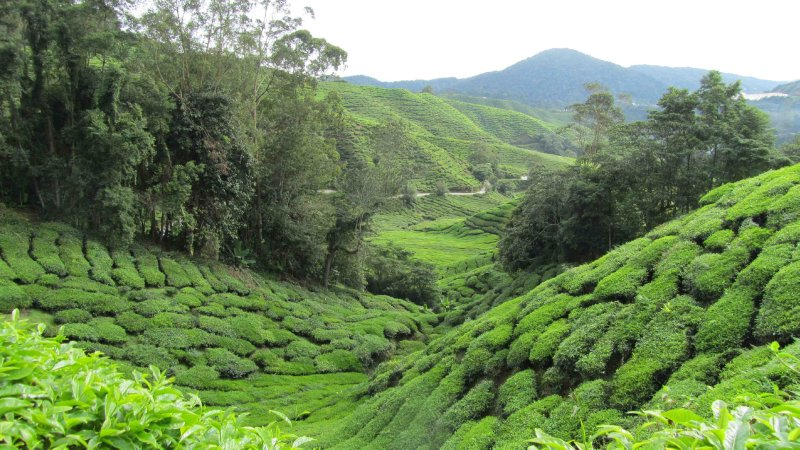 large_Tea_plantations_3.jpg