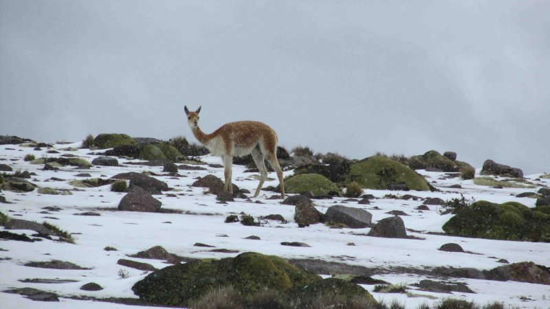 large_Vicuna_and_snow.jpg