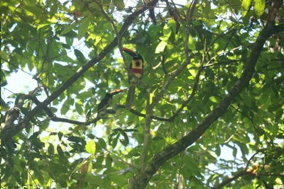 Toucans at &#60;manuel antonio 