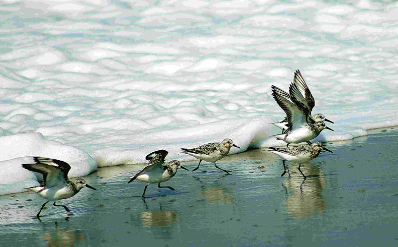 Sand Pipers and Sea Foam