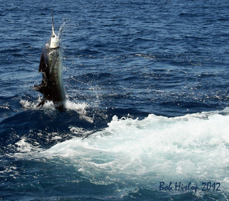 Sal's sailfish