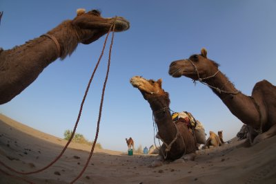 Our camels resting at the end of our first day