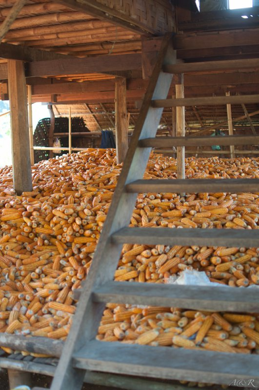 Corn stash under the house, most is sold as chicken feed