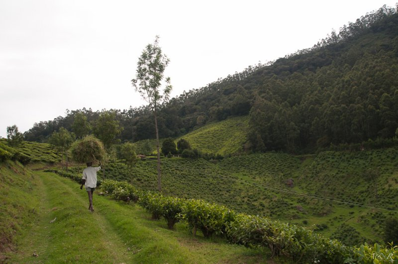 Trespassing in a private tea plantation with a small bribe, tourism India style!