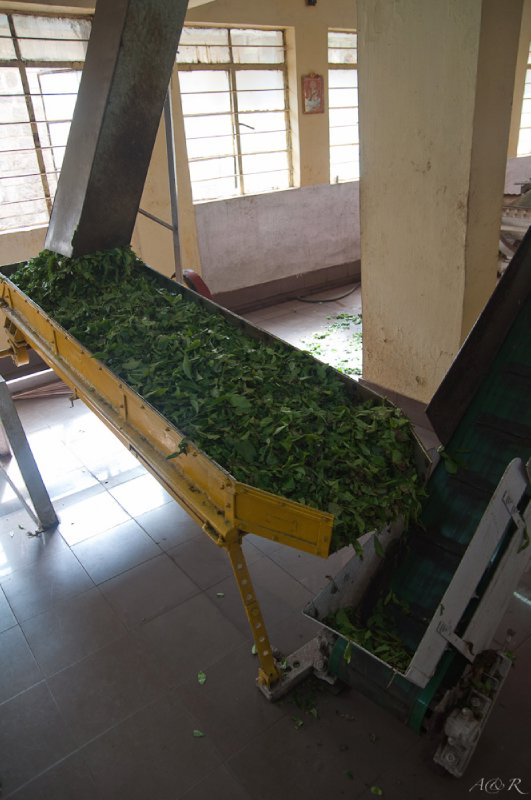 At the tea museum at the end of the day, with tea processing beginning in what appears to be a coffin