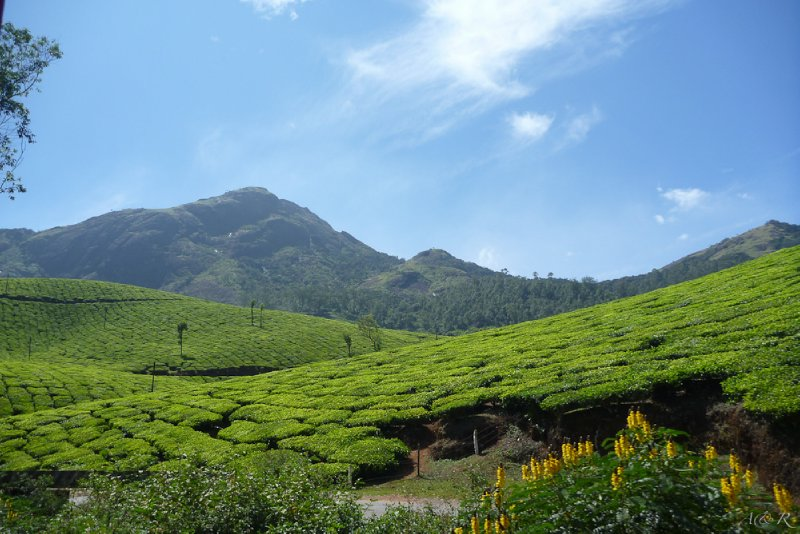 Breathtaking landscape of one Munnar tea plantation. Only 30% o the fertile land in Munnar is used to harvest tea, the rest is left relatively untouched