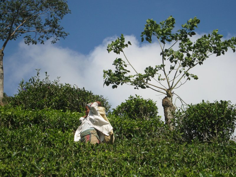 One of many tea pickers at the tea plantations surrounding Kandy