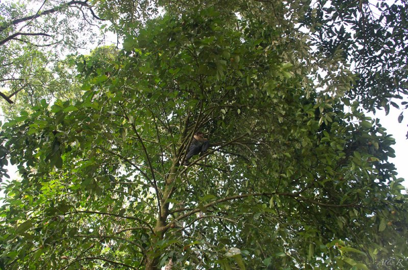 Adam tasked with scaling the tallest and most abundant mangosteen tree