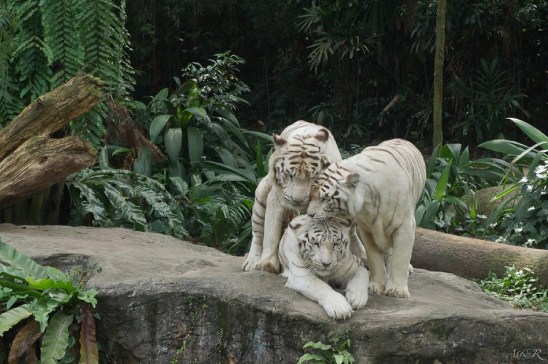 Three white tigers captured in embrace