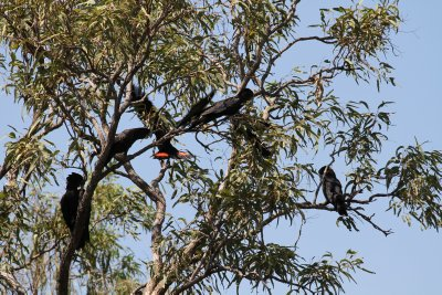 Black Cockatoos at Middle Lagoon