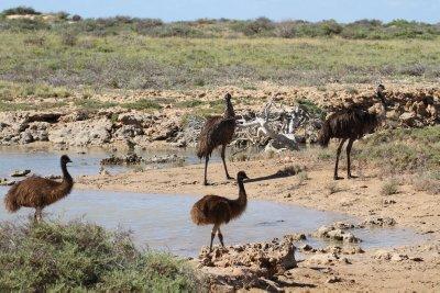 Emus in Cape Range National Park
