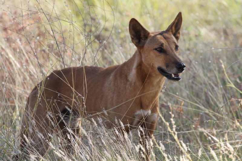 Dingo in Purnululu National Park