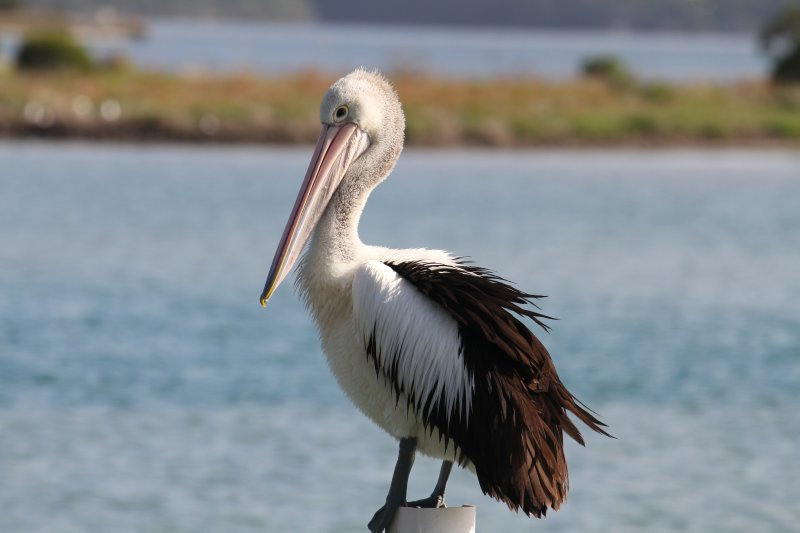 Australian Pelican