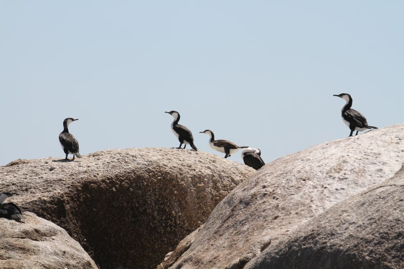 Black-faced Cormorants