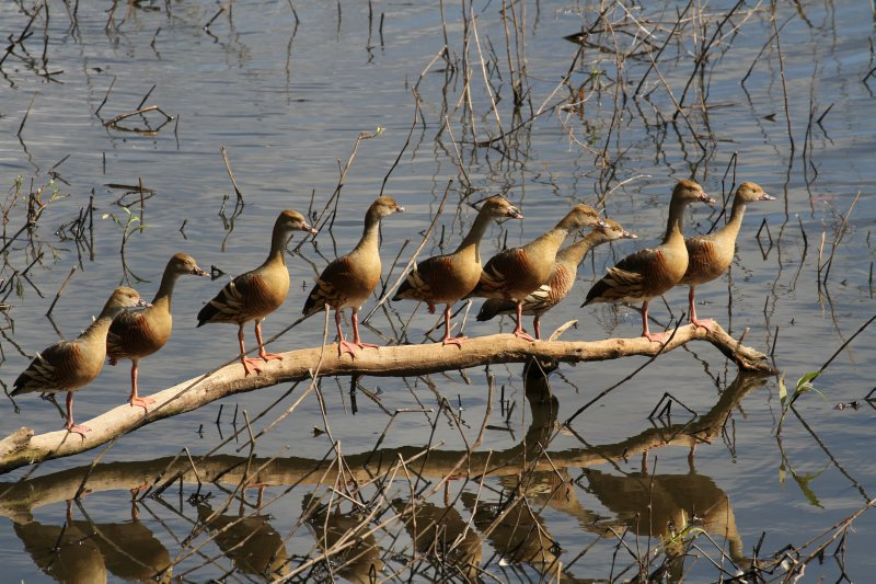 'All my ducks in a row' on Hasties Swamp