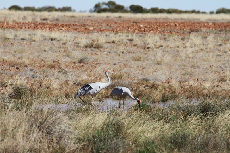 Australian Cranes