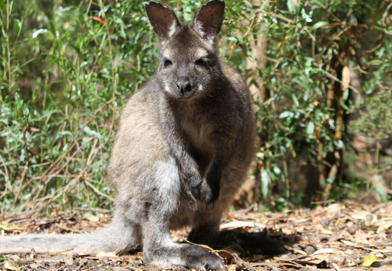 Bennet's Wallaby