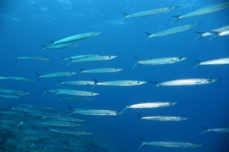 Bigeye Barracuda