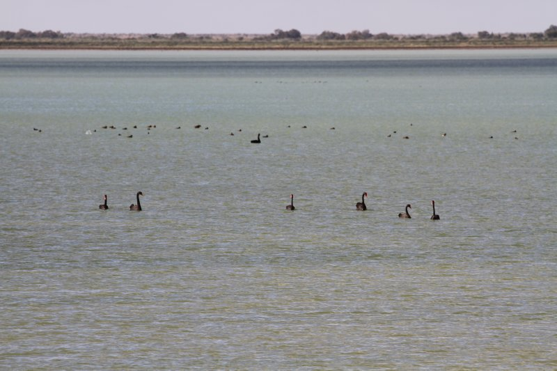 Black Swans on Lake Harry