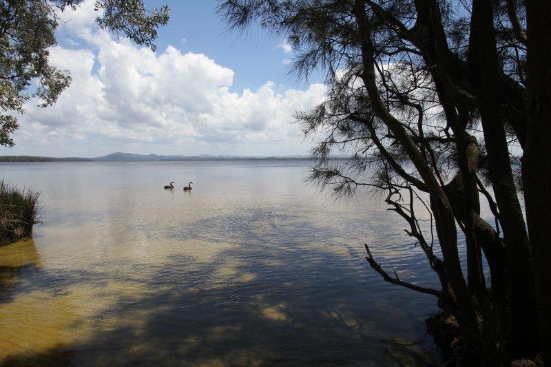 Black Swans on Myall Lake
