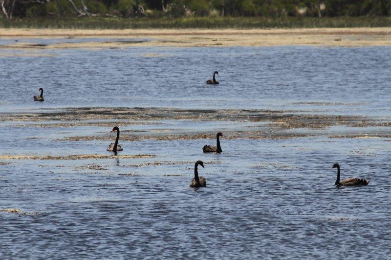 Black swans on Rebecca Lagoon