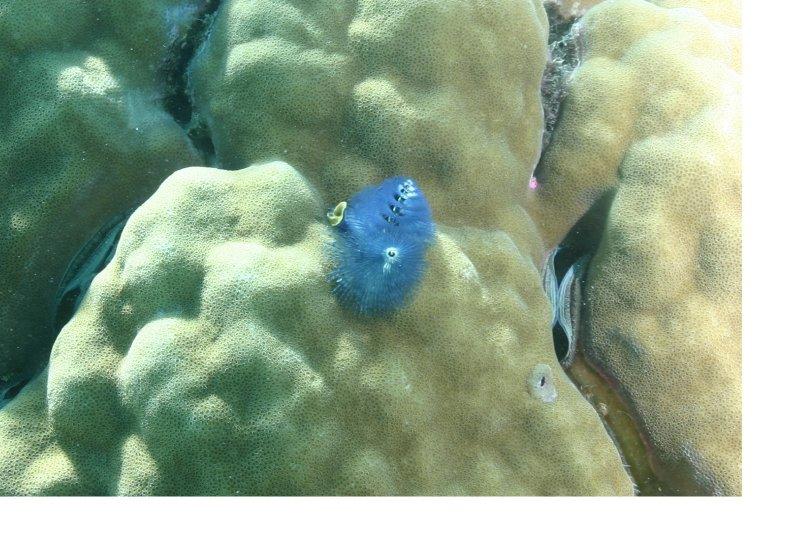 Blue Christmasworm