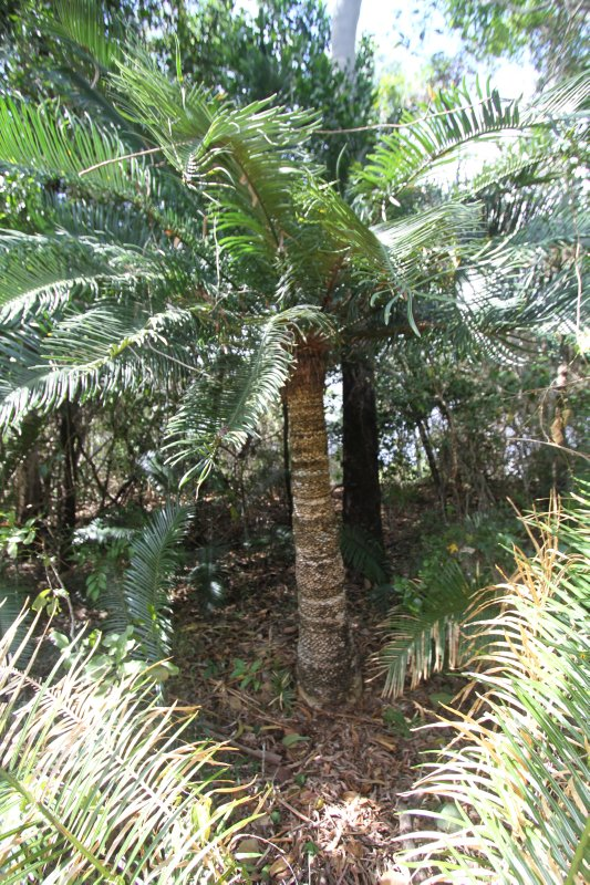 Cycads