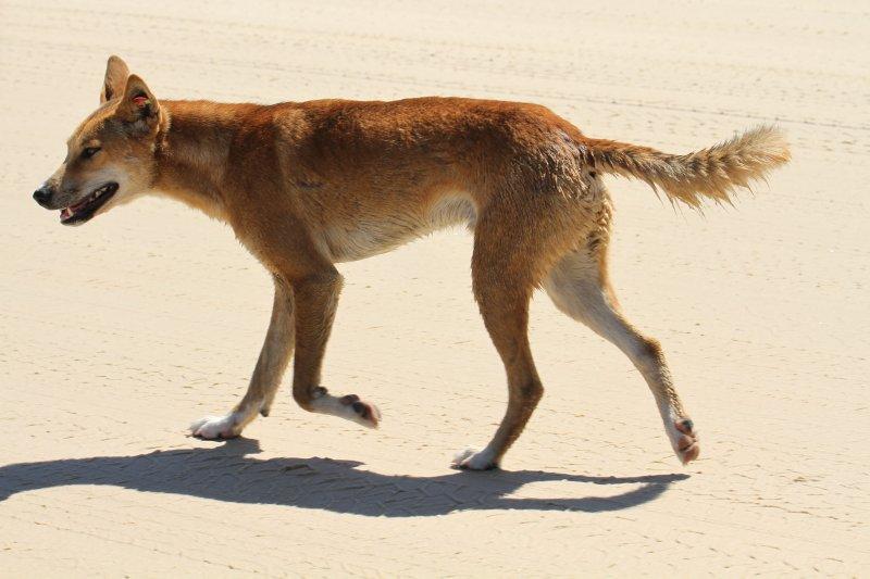 Dingo on the beach