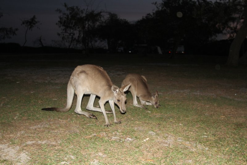 Feeding kangaroos at dusk