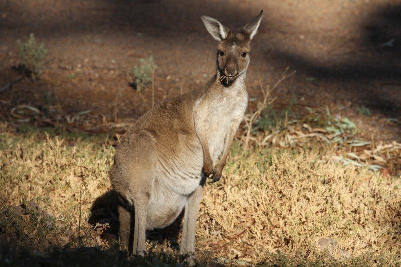 Grazing kangaroo